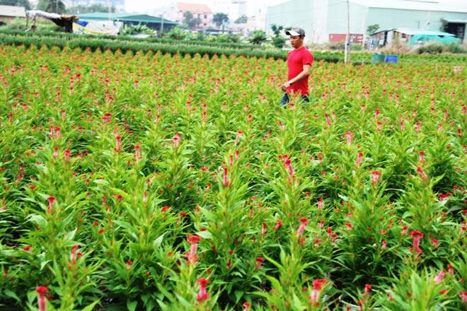 Tại các ruộng hoa, vườn mai ở quận Thủ Đức, huyện Hóc Môn, Củ Chi… nông dân cũng đang tất bật với việc chăm sóc, tưới nước. Một số nông dân cho biết đã có tiểu thương đến liên hệ đặt tiền cọc mua hoa nhưng nông dân đều chưa đồng ý nhận cọc.