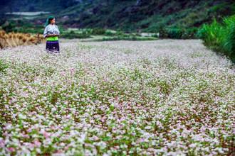 Hoa tam giác mạch là loài hoa đặc trưng của cao nguyên đá Đồng Văn (Hà Giang). Hoa nở rộ vào trong khoảng tháng 10 đến tháng 11 mỗi năm. (ảnh: V.Linh)