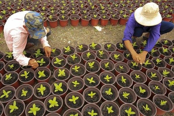 Phần lớn hoa tết đã được xuống giống vài tháng nhưng cũng có loại hoa ngắn ngày thì mới chỉ được gieo hạt khoảng hơn tuần nay.