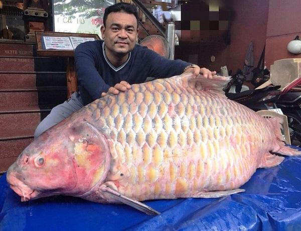 Cá hô có giá từ từ 5-7 triệu/kg.