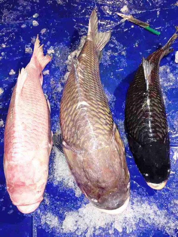 3 con cá hô 3 màu được một nhà hàng ở TP.HCM mua.