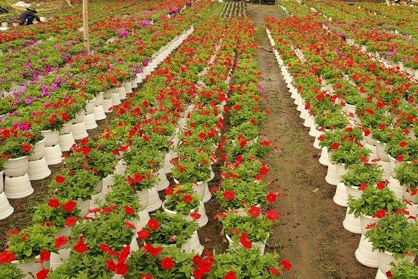 Thời gian này những hộ nông dân trồng hoa tết khu vực ngoại thành như quận 12, Hóc Môn, Củ Chi... nhộn nhịp công việc chăm sóc hoa.