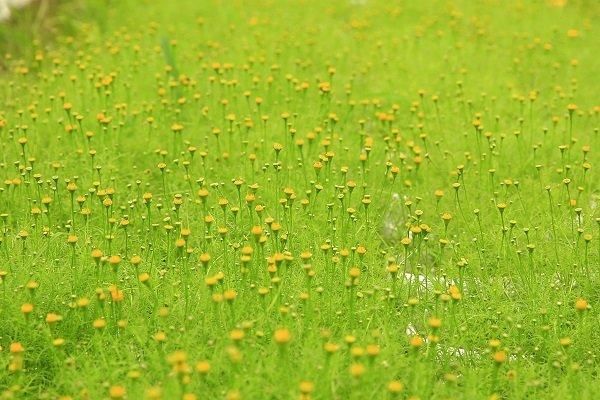 Theo các hộ dân trồng hoa tết trên đường Lê Thị Riêng, quận 12 thì thời tiết năm nay tới thời điểm này thuận lợi cho hoa phát triển.