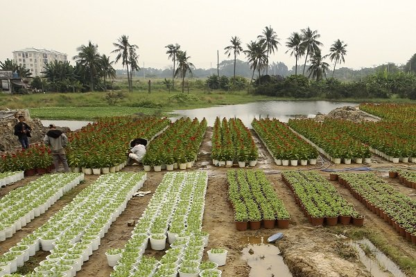 Cánh đồng hoa tết khá lớn của Sài Gòn năm nay bị thu hẹp lại đáng kể nhường chỗ cho các công trình khác.