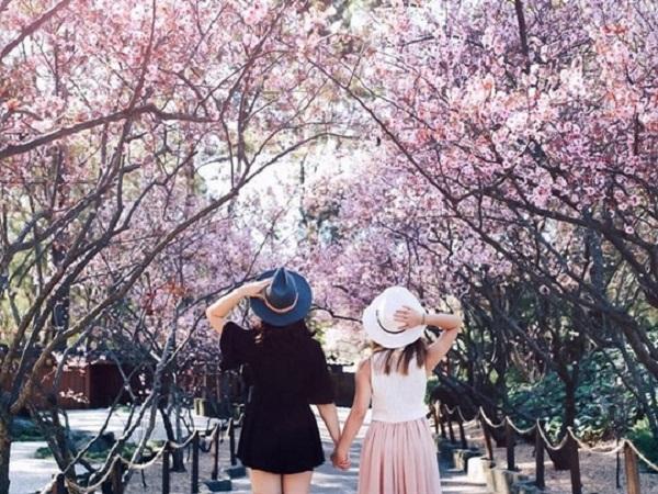 Sau bao lần lỡ hẹn thì đầu năm 2018, UBND tỉnh Lâm Đồng và Ban Quản lý Khu du lịch hồ Tuyền Lâm đã thông báo chính thức về Lễ hội hoa anh đào sẽ được tổ chức chính thức tại TP Đà Lạt dịp cận Tết Mậu Tuất.