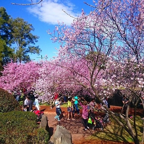 Được biết, hoa mai anh đào xuất hiện ở khu vực nội đô Đà Lạt với hơn 3000 cây và có độ cao từ 2m đến 3m.