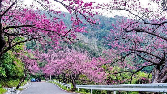 Mai anh đào thường nở rộ vào đầu xuân, tầm tháng 2 và nó biến cả thành phố Đà Lạt trở nên lãng mạn với màu hồng đặc trưng của mình.