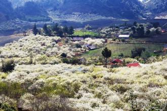 Hoa mận chỉ rực rỡ trong khoảng 2 - 3 tuần vào tháng 1, 2. Đây là loài hoa đặc trưng của cao nguyên Mộc Châu. Hoa không chỉ đẹp bởi vẻ mỏng manh mà khi đã nở, hoa sẽ bung ra ào ạt, tạo nên khung cảnh đẹp hút hồn.