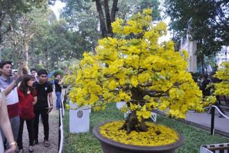 Hình ảnh hoa mai trong hội hoa xuân năm Tết Đinh Dậu
