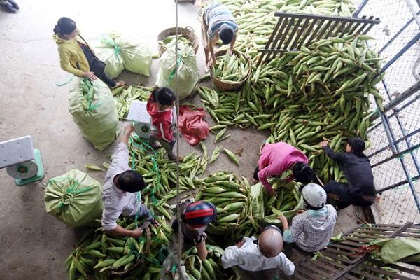 Nhiều năm qua, chợ bắp trên đường Trịnh Thị Miếng (xã Thới Tam Thôn, huyện Hóc Môn, TP.HCM) được xem là chợ đầu mối cung cấp hàng chục tấn bắp mỗi ngày cho khắp thành phố và khu vực lân cận.