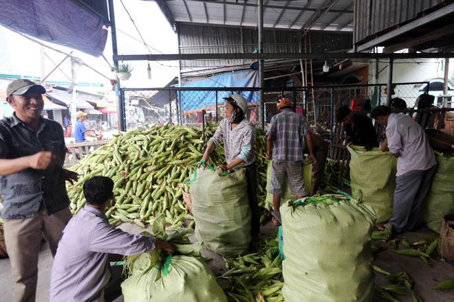 Bắp sau khi được xe tải chở về vựa được nhân công tại đây lựa chọn. Mỗi vựa bắp thường có từ 5-6 người làm việc. Bắp được phân loại sau đó cho vào giỏ, bao riêng.