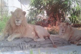 Sư tử trong Thảo cầm viên Sài Gòn