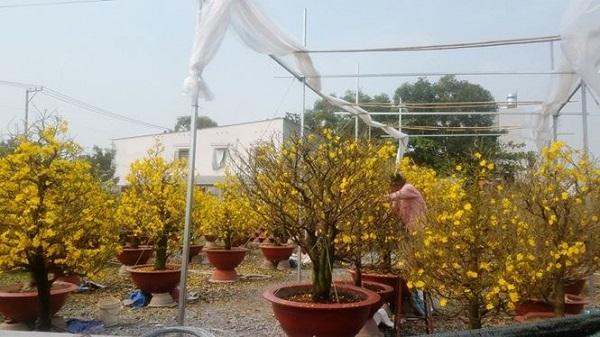 Ngày 3/2, ghi nhận của phóng viên Tiền Phong trên địa bàn quận Thủ Đức, TPHCM, nơi được mệnh danh là vựa mai của thành phố với những hộ trồng mai nổi tiếng nhất, có những gốc mai đẹp nhất đang tất bật những khâu cuối cùng để chuyển mai đến tay khách hàng.