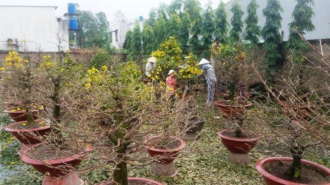 Đến thời điểm hiện tại, những cây mai đẹp nhất vườn của anh trị giá hàng trăm riệu đồng mỗi gốc đã được khách từ Hà Nội vào đặt hàng gần hết. Chỉ vài ngày nữa là những chuyến xe chở mai Tết của anh sẽ lăn bánh ra Hà Nội.