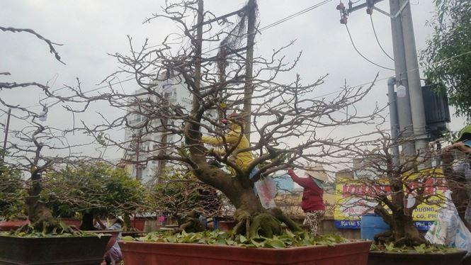 Cũng như anh Công, tại vườn mai Út Hà, phường Hiệp Bình Chánh, quận Thủ Đức cũng có hàng nghìn gốc mai trị giá hàng tỷ đồng đã được đưa ra mặt tiền đường Phạm Văn Đồng để chào hàng.