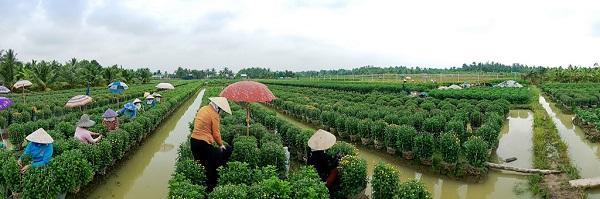 Rời cao tốc Trung Lương, tác giả ghé đến làng hoa Mỹ Phong - Tiền Giang. Tấm ảnh chụp panorama giúp ghi lại vẻ đẹp xanh mướt của làng hoa cũng như khung cảnh lao động tất bật. Các nữ nông dân hăng say bứt lá cúc để hoa nở đẹp nhất theo thời gian đã tính toán trước.
