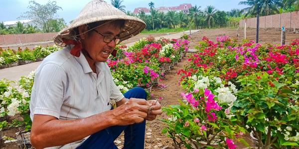 Ngoài hoa cúc, Mỹ Phong cũng là vựa hoa giấy rất lớn của Tiền Giang. Hoa giấy sẽ được mùa nếu trời xuân nắng tốt. Thời tiết u ám cuối năm ảnh hưởng không nhỏ đến niềm tin về một cái Tết khấm khá của những người nông dân trồng hoa.