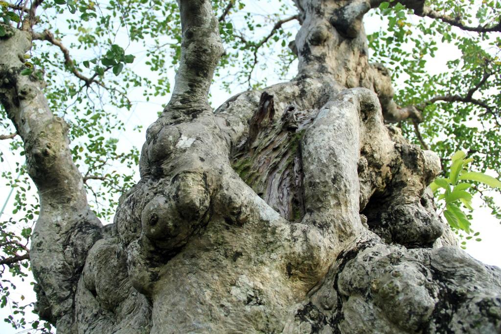 Nhiều vết cắt trên cây đã liền da sau thời gian gần 10 năm cải tạo, cắt ghép
