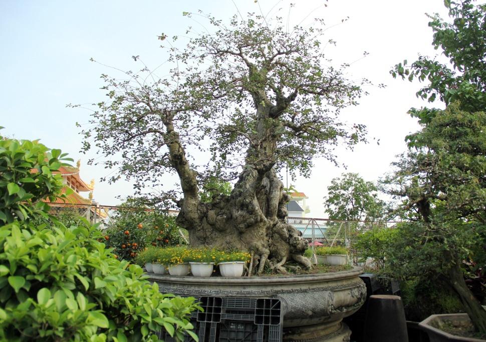 Theo nghệ nhân Bình, cây một gốc 2 loài này được đưa ra giá tiền tỷ. Trước đây, cũng đã có người ngã giá nhưng số tiền thấp hơn nên nghệ nhân Bình chưa đồng ý bán. Khá nhiều người khi đến tham quan vườn kiểng đều đến chiêm ngưỡng cây cổ thụ bạc tỷ này.