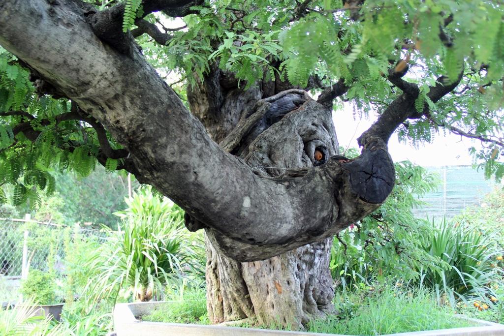 """Tại vườn kiểng của nghệ nhân Bình còn có cây me thế """"dáng bay""""  cổ thụ."""