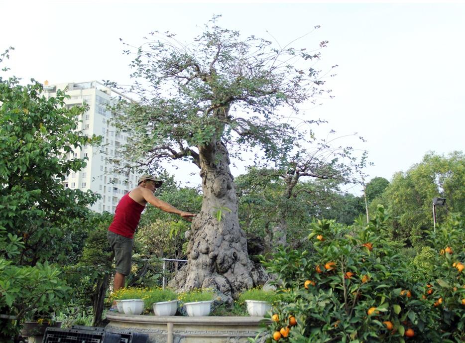 """Theo chủ nhân cây này là tường vy và được ghép trên cây bằng lăng cổ thụ. """"Việc ghép cây đã diễn ra khoảng gần 10 năm trước trên thân cây cổ thụ hơn 100 tuổi. Giờ cây đã ra hình dáng"""", anh Bình chia sẻ."""