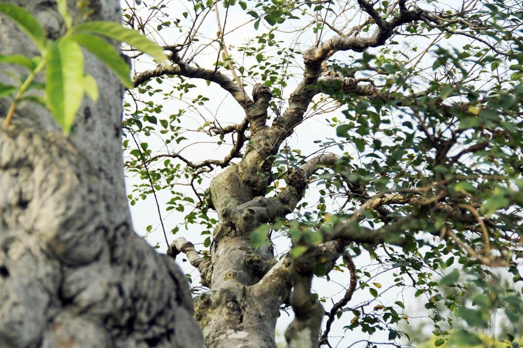 Tại các tán của cây đều được chủ nhân tạo hình khúc khuỷu.