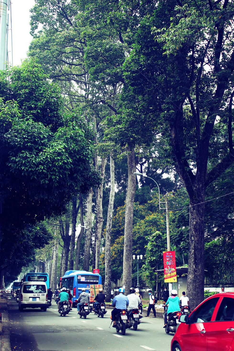 Song song với đường Hùng Vương ở quận 5, đường Trần Phú cũng có hàng cây tuyệt đẹp