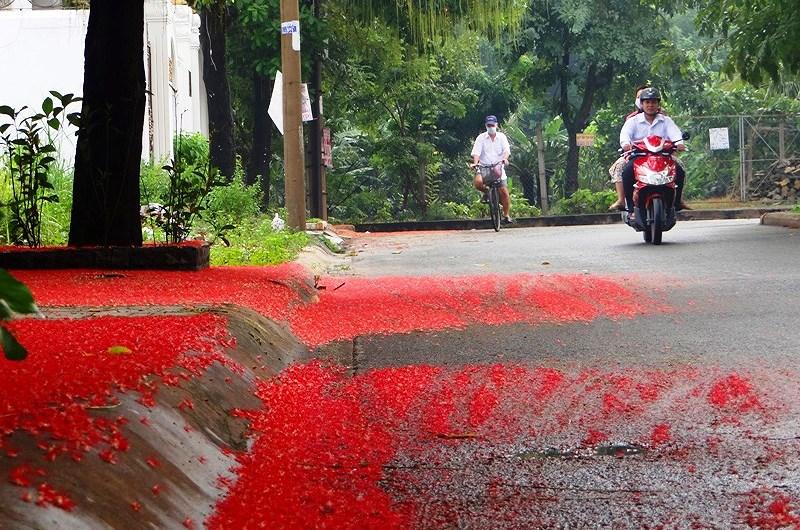 Hoa lộc vừng ở khu phố này nở quanh năm. Chỉ có hai cây lộc vừng nhưng đường phố luôn ngập trong sắc đỏ. Ảnh: TRUNG THANH