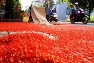 Gần Tết, hoa rơi càng nhiều và sắc hoa càng đỏ rực làm cho cả một đoạn đường bị nhuộm đỏ. Ảnh chụp sáng 2-2. Ảnh: TRUNG THANH