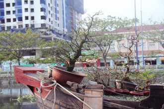 Những chậu mai được ghe vận chuyển từ các tỉnh miền Tây lên Sài Gòn chuẩn bị bán dịp tết Nguyên đán Mậu Tuất 2018