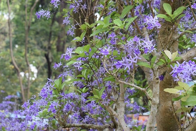 Hoa nhỏ năm cánh như hình ngôi sao, quan sát kỹ sẽ thấy màu lam tím.