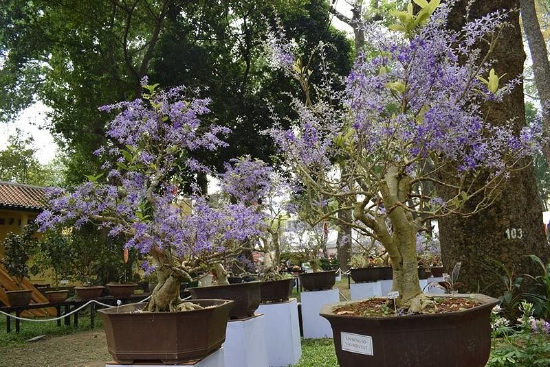 Mai xanh là cây hoa leo nhưng mang thân gỗ nhiều cành nhánh, cây leo tới đâu hóa gỗ tới đó.