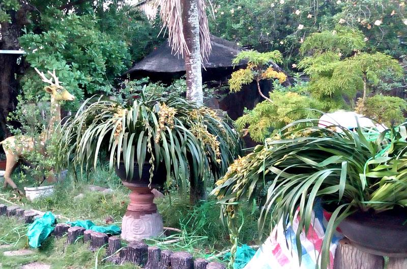 Các chậu lan hiện đang được đặt bên cạnh lối đi vào dinh thự để cây có không gian thở, hồi về dáng cũ trước khi trưng bày trong nhà