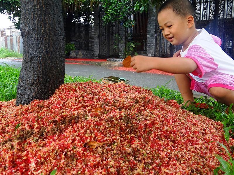Hoa rơi nhiều nên người dân phải quét dọn, gom thành từng đống, đổ khắp dưới các gốc cây. Ảnh: TRUNG THANH