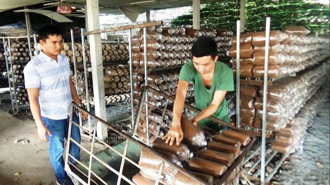 Trại nấm của anh Thắng có diện tích 3.000m2 và cung cấp 6.000 phôi nấm cho thị trường mỗi đợt.