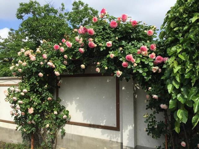 Bức tường rào ngập sắc hoa hồng. Ảnh: Kenhphunu.