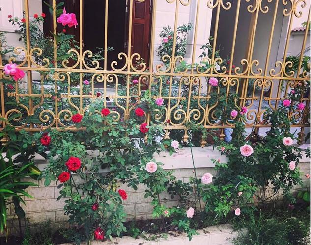 Hàng rào hoa hồng đẹp hút mắt. Ảnh: Đời sống & Pháp lý.