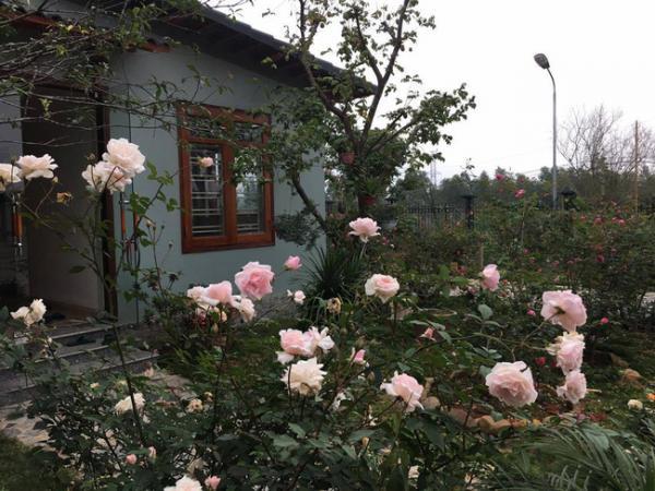 Những bụi hoa hồng đua nhau khoe sắc. Ảnh: Kientrucavas.