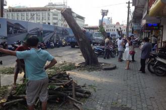 1.10.2014 - ngày bắt đầu chặt dãy cây dọc đại lộ Nguyễn Huệ, Sài Gòn và mới đây là chặt hàng cổ thụ trên đường Tôn Đức Thắng.Ảnh: Phúc Tiến