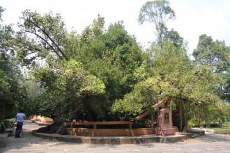 cây Bạch Mai trên 300 tuổi nằm trước sân đình Phú Tự – Ảnh: MẬU TRƯỜNG