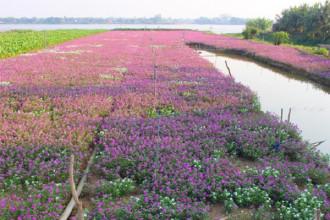 Vài năm nay, du khách phương xa khi đến huyện Phú Tân rất thích thú với những cánh đồng phủ đầy sắc tím hoa dừa cạn .