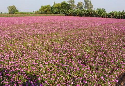 Tại huyện Phú Tân, tỉnh An Giang dừa cạn được trồng ở các xã như: Tân Hòa, Phú Hưng, Phú Thạnh, Bình Thạnh Đông với hàng chục hecta.