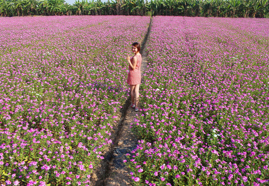 """Cánh đồng hoa dừa cạn ở huyện Phú Tân, An Giang không chỉ là vựa thuốc nam quý hiếm trong vùng mà còn là địa điểm du lịch nổi tiếng """"vạn người mê""""."""