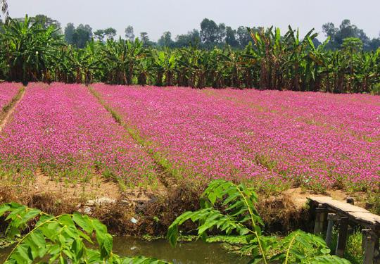 """Chị Đỗ Thị Trinh (ngụ ấp Hậu Giang 1) cho biết: """"4 năm nay, nghe các thầy thuốc nói nguồn dược liệu chữa bệnh thiếu, nhất là hoa dừa cạn. Vì thế người cháu của tôi cùng một số người dân gần đây tận dụng đất rẫy trồng 6 công hoa dừa cạn""""."""