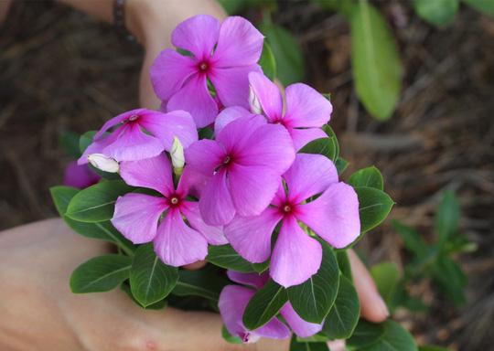 Việc thu hoạch diễn ra trước khi mưa xuống bởi nếu trễ hoa sẽ bị rụng lá và bông, thậm chí chết cây.