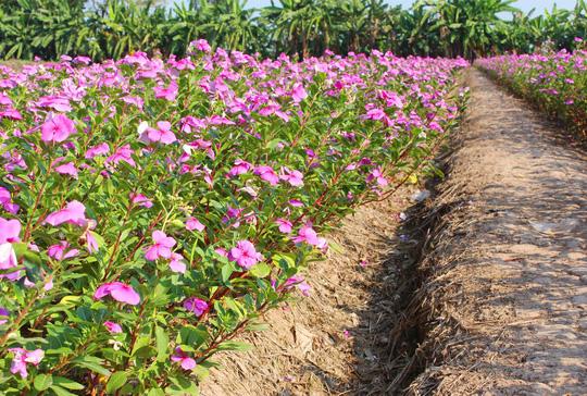 Hoa dừa cạn được biết đến là loại cây dại, mọc nhiều nơi và tùy vào thổ nhưỡng, khí hậu mà có tính dược liệu khác nhau.
