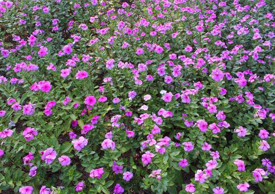 Theo kinh nghiệm dân gian, hoa dừa cạn dùng để chữa trị một số loại bệnh như: cao huyết áp, tiểu đường, sơ gan, an thần,...
