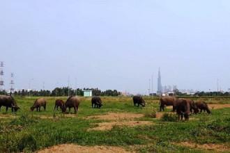 Đàn trâu nhởn nhơ gặm cỏ, phía sau là tòa tháp cao nhất Việt Nam