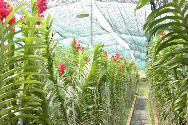 Hàng ngàn gốc lan mokara vàng cam, đỏ cũng có mặt tại Nông Trang Xanh