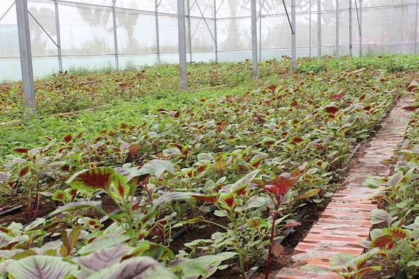 Những vườn rau tươi ngon trong nhà kính được trồng theo phương pháp hữu cơ, du khách có thể mua mang về hoặc chế biến món ăn tại chỗ.